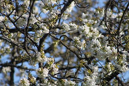cherry blossom, spring, blossom