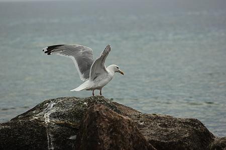 kaija, pludmale, jūra, Baltijas jūrā, krasts, pludmales ūdens, putni