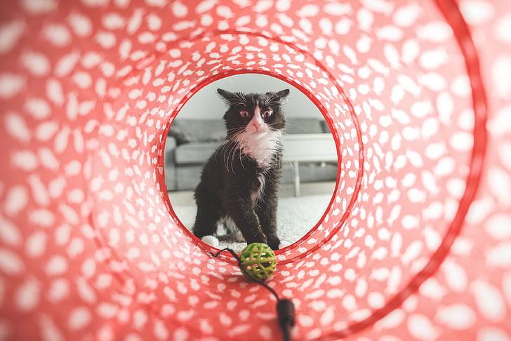 котка, игра, играчка, Сладък, домашни, животните, домашен любимец