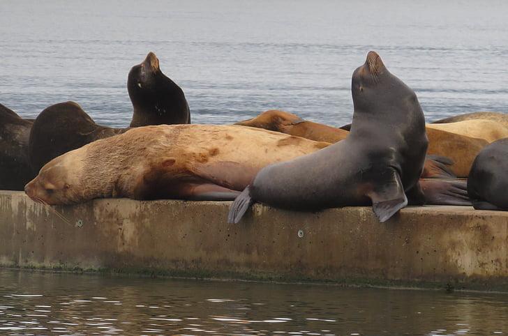 Lleó marí, vida marina, oceà, animal, mamífer marí, despertar-se, bon dia