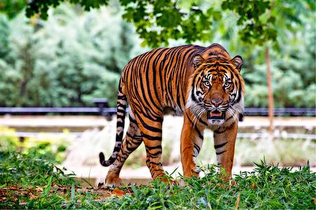sumatran tiger, tiger, big cat, stripes, walking, predator, endangered
