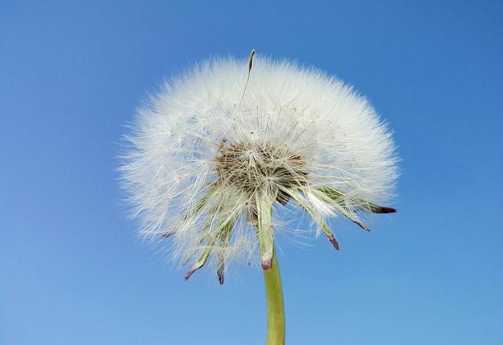 Глухарче, небе, Пролет, синьо небе, ясно синьо небе, настроение, природата