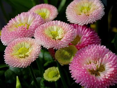 bellis, culture daisy, composites, daisy, spring, blossom, bloom