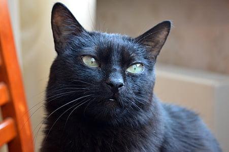 котка, Домашно огнище, котка търси, домашни любимци, видяна, животни, домашен любимец