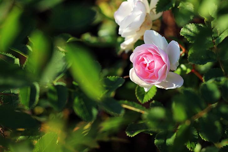 Rose, Rose, rose rose, floraison rose, Blossom, Bloom, roses de jardin