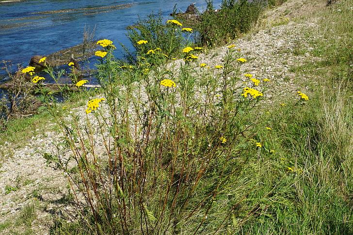 atanásia, planta medicinal, saudável, natureza, Rio, Danúbio