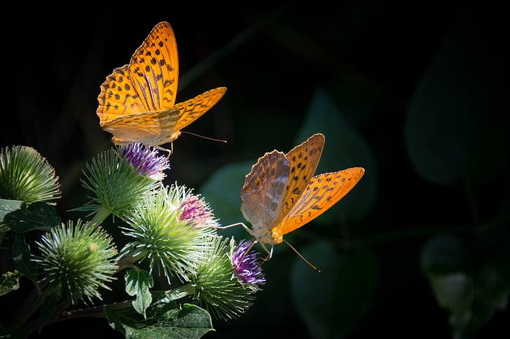 сребро граничи Седефка, пеперуда, природата, Ориндж, растителна, насекоми, няма хора