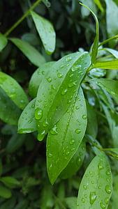 φύλλο, σταγόνες, των βροχών, αφήστε το, πράσινο χρώμα, υγρό, νερό