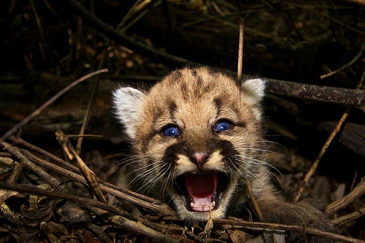 baby cougar, mountain lion, puma, wildlife, nature, predator, carnivore