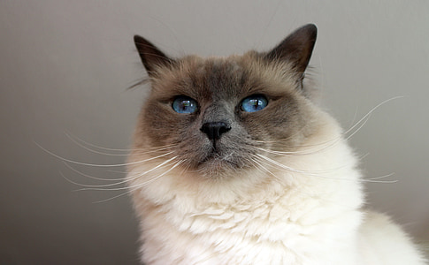 sacred birman, cat, adidas, breed cat