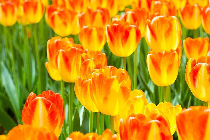 flors, tulipes, taronja, vermell, creixent, floral, flors