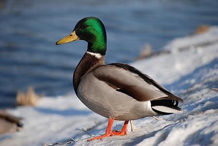 鴨, は、kaczor, 動物, 野生, 鳥鴨, アヒル, 野生の鳥