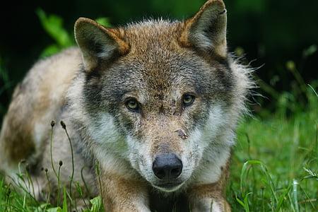 wolf, predator, eurasian wolf, pack animal, portrait, carnivore, wildlife