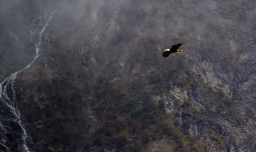 Àguila a alaska, volar les Àguiles, Àguila d'Alaska