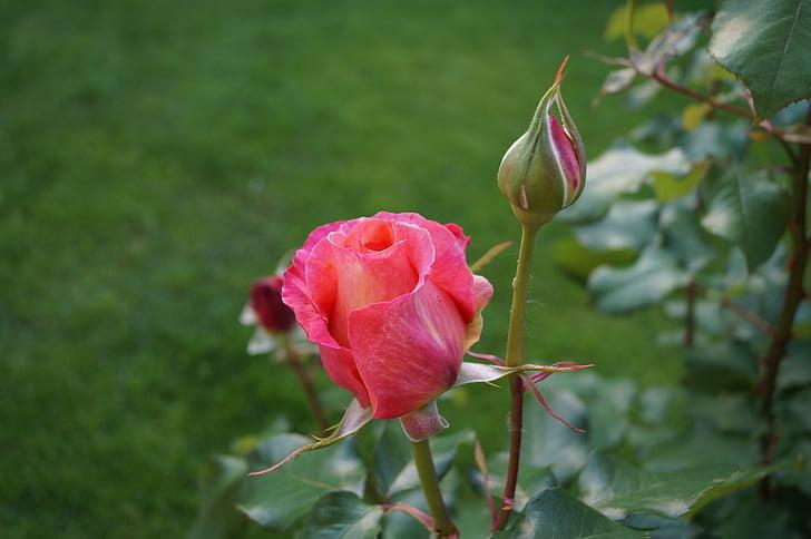 กุหลาบ, ดอกกุหลาบ, ดอกไม้สีชมพู, กลิ่นของดอกกุหลาบ, ฤดูใบไม้ผลิ