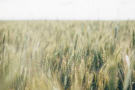verd, gramínies, l'agricultura, cultius agrícoles, blat de moro, planta de cereals, camp