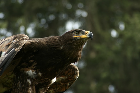 Орлово око, Адлер, бил, раптор, ausschau, птица, граблива птица