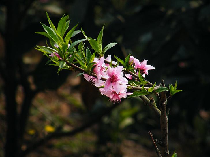 flor de préssec, any nou xinès, el paisatge