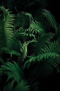 close-up, verd, fulles, planta, color verd, Falguera, fronda