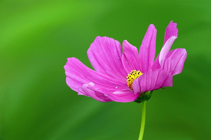 flower, blossom, bloom, cosmea, pink, close, plant