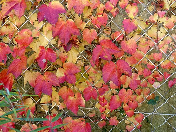 tardor, tardor daurat, fulles, fulles a la tardor, colors, vermell, groc
