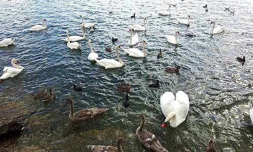 птица, Лебедь, утка, озеро, воды, Дикая природа, Природа