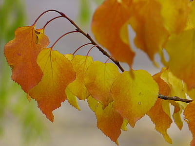 φύλλα, χρώμα πτώσης, πολύχρωμο, πτώση των φύλλων, φύλλωμα πτώσης, το φθινόπωρο, κόκκινο