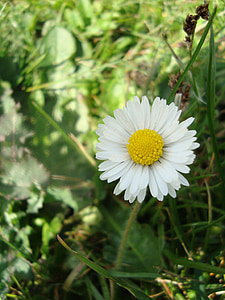 daisy, flowers, meadow, pointed flower, yellow, white, spring