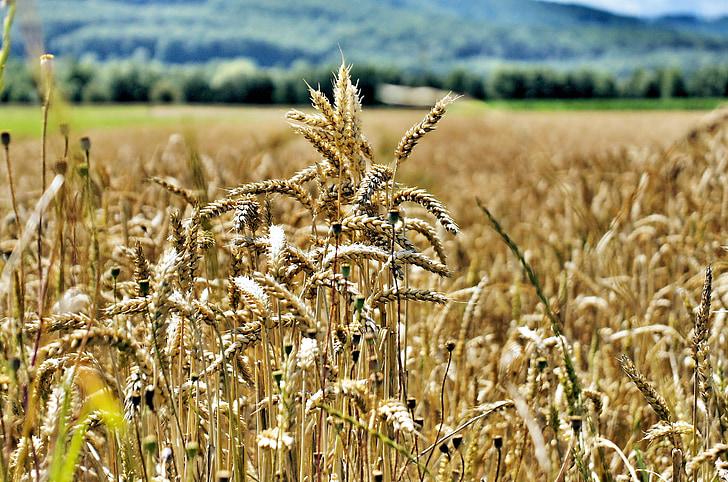cảnh quan, Ngô, nông nghiệp, Trang trại, mùa hè, nông nghiệp
