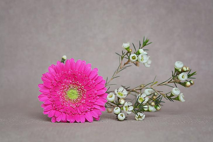 Гербера, червоного жасмину, цвітіння, цвітіння, рожевий, білий, schnittblume