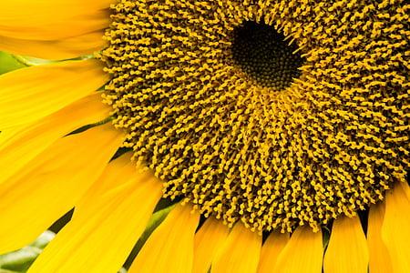 päevalill, päevalilleseemned, taimed, kroonlehed, kollane, lilled, Helianthus