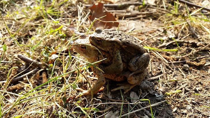 Toad, sammakkoeläimet, pariliitoksen, Toad siirron