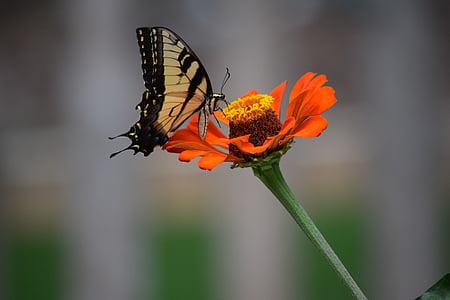 vlinder, bloem, zinnia, één bloem, Blooming, bloemblaadjes, lente