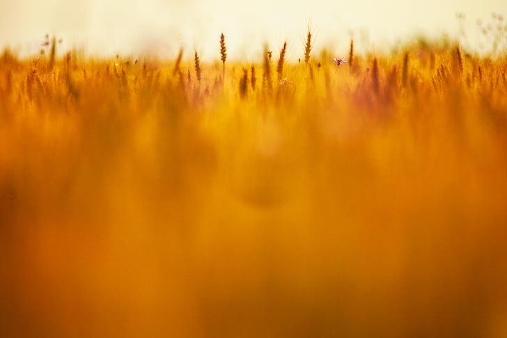 tausta, Blur, näön, viljapelto, kenttä, viljan, vehnä