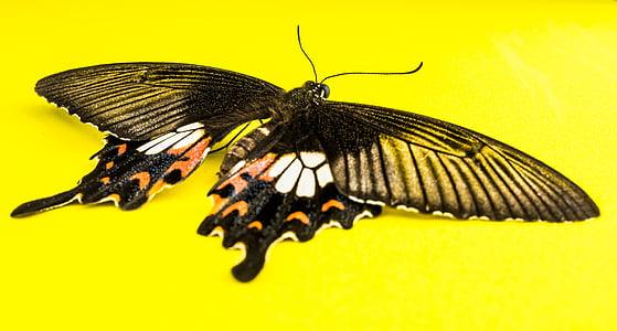 пеперуда, насекоми, пеперуда - насекоми, природата, животните, животински крило, жълто