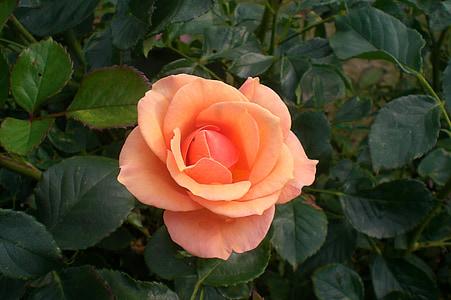 virág, Rózsa, nyári, Bloom, növény, narancs, zöld