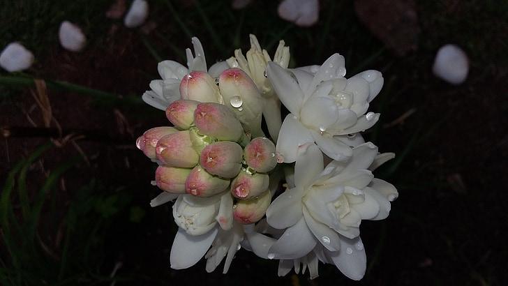 Angèlica, flor, tuberose, perfumada, jardí