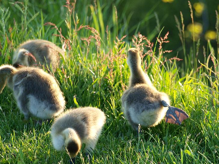 hanhet, lintu, nuori, Luonto, hanhi, Gosling, vauva