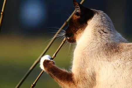 cat, siamese cat, play, branch, breed cat, mieze, siam