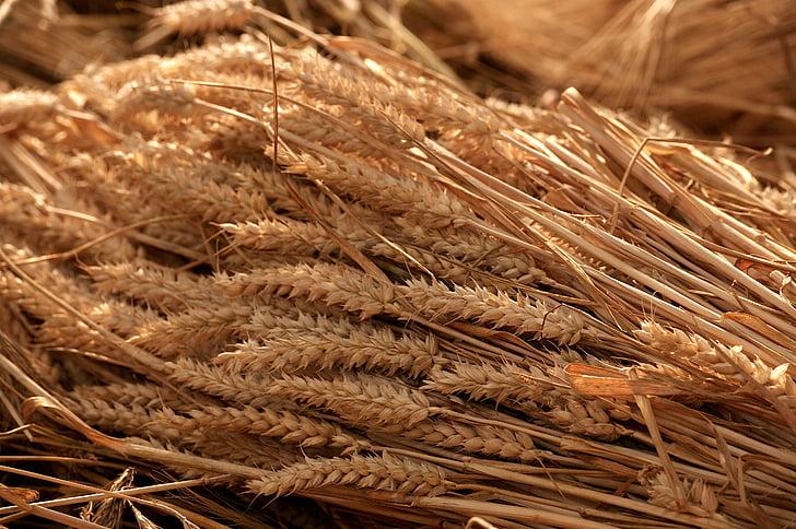 collita de cereals, l'estiu, flocs, cereals, natura, grans, l'agricultura