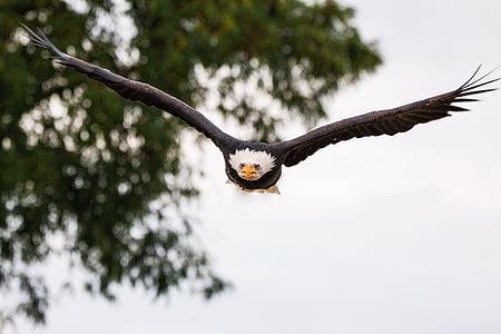 лети, по време на полет, подход, тежки от leucocephalus, Адлер, раптор, птица