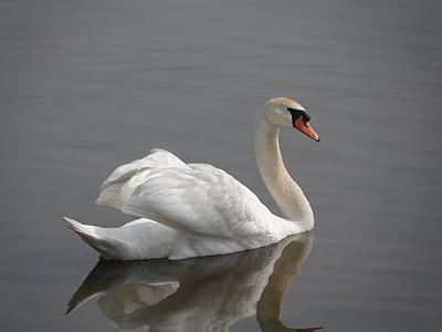 Лебедь, утка, птица, Природа, животное, озеро, Дикая природа