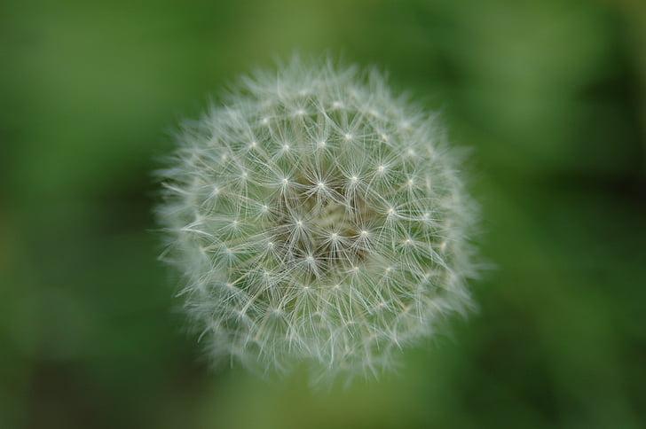 mniszek lekarski, Wildflower, światło, Macro (makro), Natura, roślina, szczelnie-do góry