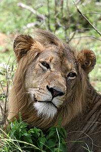 lion, portrait, wildlife, mammal, carnivore, mane, head