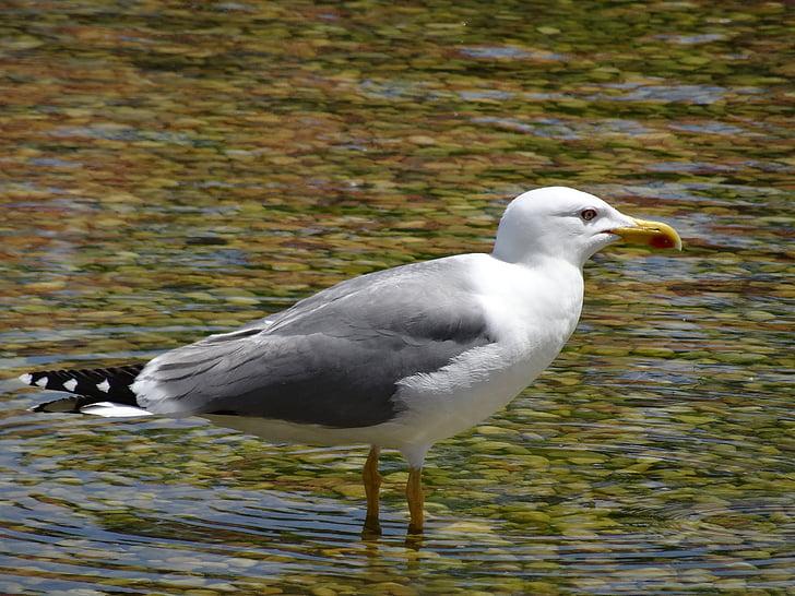 lokki, Sea bird, Ocean