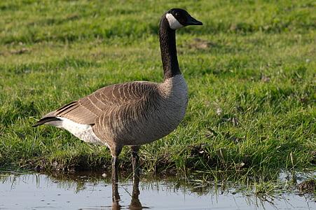 ガチョウ, カナダ, 野生動物, 鳥, 水鳥, 池, 草