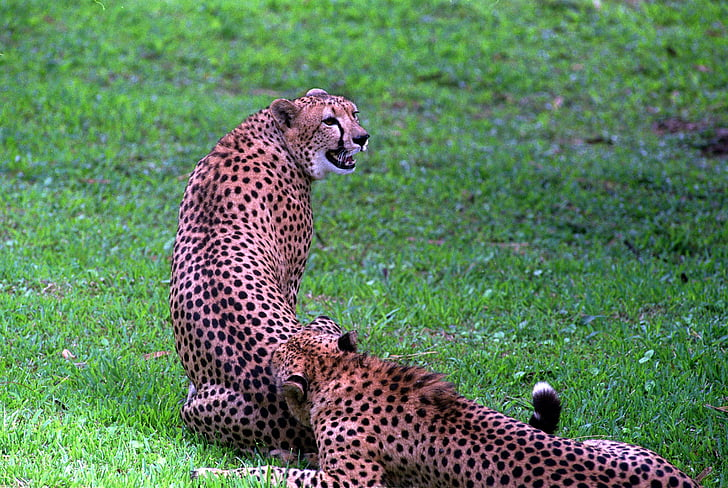 africa, animal, big, branch, carnivore, carnivorous, cat