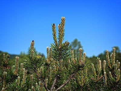 pine needles, dwarf pine, needle tip, needles, pine, tap, nature