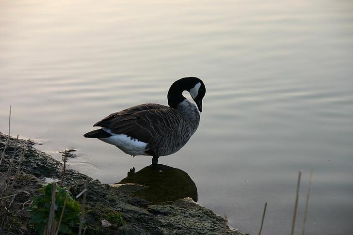 утка, воды, птица, abendstimmung, озеро, Природа, Дикая природа