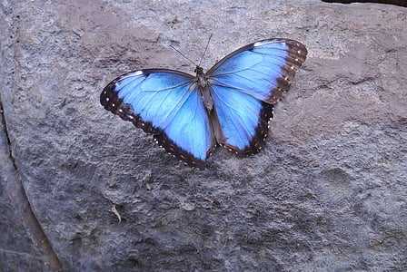 butterfly, costa rica, insect